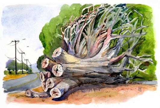 Tree stump-EucalyptusLR